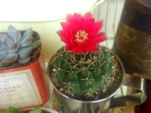 1サボテン花