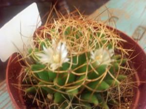 サボテン花